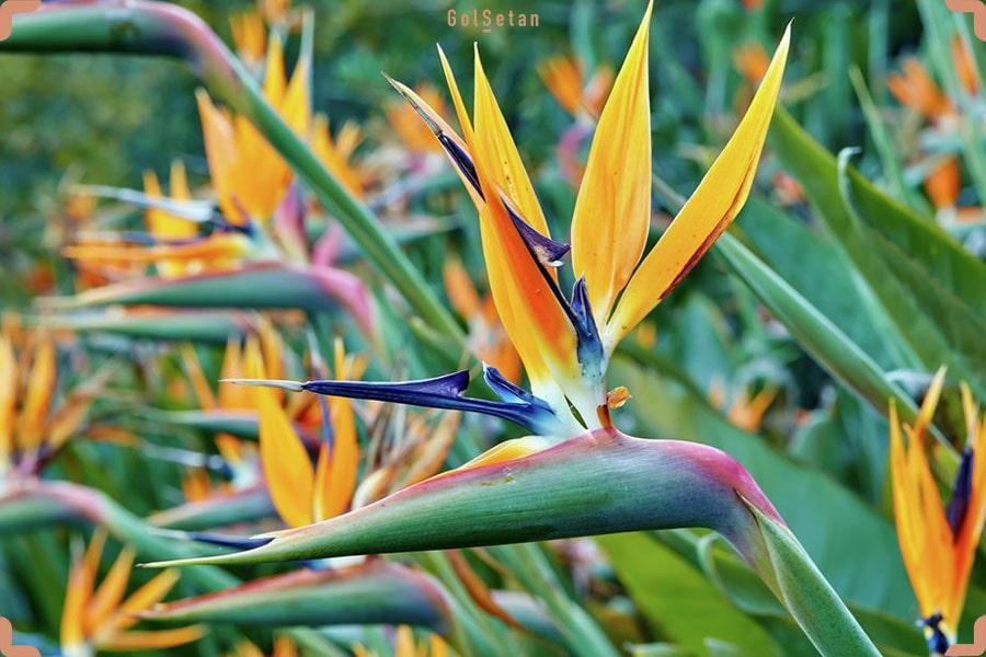 گیاه زیبای استرلیتزیا یا پرنده بهشتی ، پهن برگ زیبای دوست داشتنی
