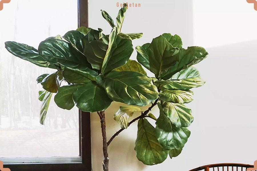 گیاه فیکوس لیراتا ، از جمله گیاهان خانگی پهن برگ و زیبا اما سمی برای سگ ها