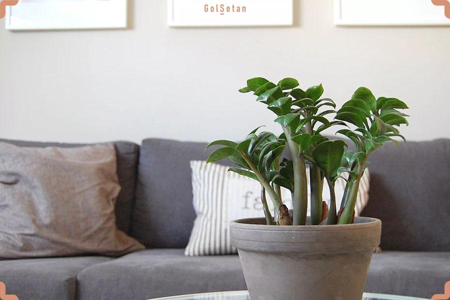 گیاه خانگی زامیفولیا ، یکی از سرسختترین و محبوب ترین گیاهان آپارتمانی اما سمی برای سگ ها